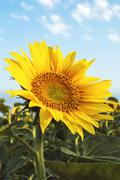 Stock Photo of sunflower in the field
