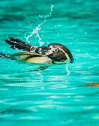 Penguin swimming and playing with splash of water Stock Photos