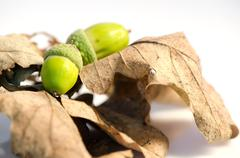 Two acorns and leafs isolated on white background. Stock Photos