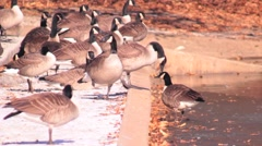 Gaggle of geese on the edge of pond Stock Footage