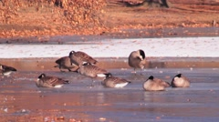 Gaggle of geese resting on icy pond Stock Footage