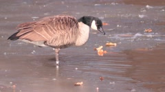 Canadian Goose standing on icy pond Stock Footage