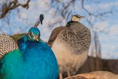 couple of peacock,front sharp blurred background - stock photo