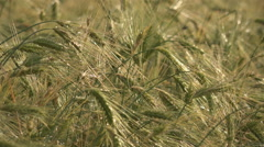 Closeup wheat cereals green plant bio field ripe harvest organic culture food  Stock Footage