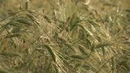 Stock Video Footage of Closeup wheat cereals green plant bio field ripe harvest organic culture food