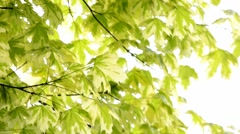 Colorful Acer Stock Footage