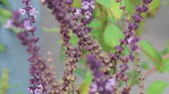 Stock Video Footage of Salvia Caradonna Sage