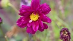 Dark Pink Cosmos Flower Stock Footage