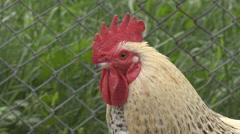 Closeup portrait cock head male chicken rural farm domestic bird silhouette day Arkistovideo