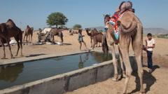 Camels drinking water at a watering-place at Pushkar Camel Fair Stock Footage