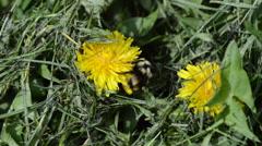 Bumblebee Pollinating Yellow Dandelion Closeup 2 Stock Footage