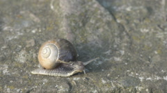 Snail animal slow motion asphalt rock stone detail mollusk shell home wilderness Stock Footage