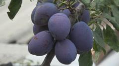 Ripe bunch plum tree branch harvest fresh fruit production autumn season bio day Stock Footage