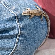 Lizard on jeans Stock Photos