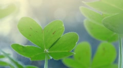 Clover grass growing in garden. Macro closeup on leaves. - stock footage