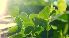 Clovers grass growing in garden. Macro closeup on leaves. Stock Footage