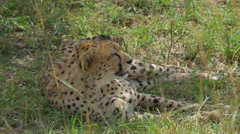 CLOSE UP: Cheetah lying in a shade Stock Footage