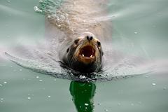 Angry barking sea lion Stock Photos