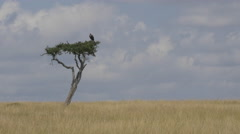 Vulture sitting on a solitary tree in Africa Stock Footage