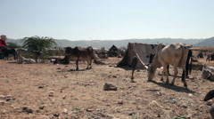 A few cows and a tent in the middle of the fair market at the Pushkar Camel Fair Stock Footage