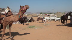 A camel cart with local rajasthani tourists at Pushkar Camel Fair Stock Footage