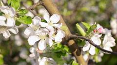 Bee pollinate apple tree flowers Stock Footage