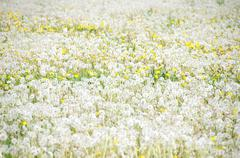past blossom dandelion meadow, horizontal shot without people. - stock photo