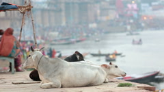 Holy cows in varanasi ghats Stock Footage