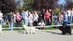 Dogs of different breeds with the owners walking, posing and showing on dog show Stock Footage