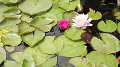 Two lotus.Water lily with green leaves on the lake Stock Footage