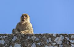 Barbary macaque of gibraltar Stock Photos
