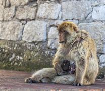 Ape feeding the baby Stock Photos