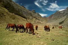 horses in andes - stock photo