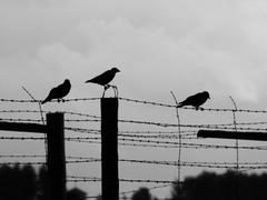 three crows sitting on the barb wire - stock photo