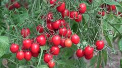 ULTRA HD 4K Bunch ripe tomato cherry bior organic farm garden fresh food tasty  Stock Footage