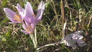 Stock Video Footage of Beautiful Spring Crocus detail closeup bloom flower blossom violet green grass