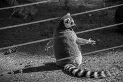 Black and white lemur in captivity Stock Photos