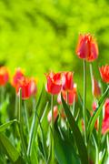 Stock Photo of spring field with red tulips