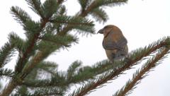 Red Crossbill on a branch Stock Footage