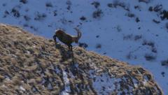Wild Alpine ibex is walking down Stock Footage