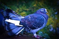 Psychedelic Pigeon Kuvituskuvat