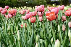 Tulips flowerbed in springtime Stock Photos