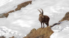 Ibex walks up Stock Footage