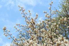 White amelanchier bush in springtime Stock Photos