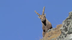 Ibex is looking at the camera Stock Footage