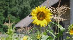 Yellow sunflower Stock Footage