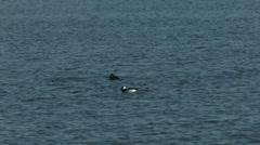 Bufflehead ducks diving Stock Footage