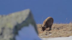 Female ibex is grazing the grass Stock Footage
