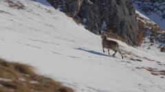 Female ibex is walking in the snow Stock Footage