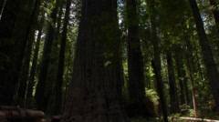 Founders redwood tree Stock Footage